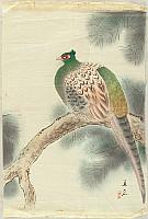 Unknown - Pheasant